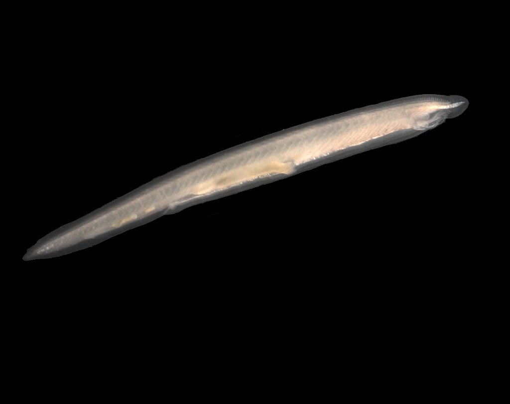 metabolisch eingepackter Verwandter, der Lanzettfisch